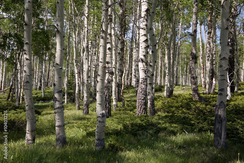 Deurstickers Berkbosje Birkenwaldpanorama