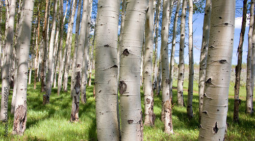 Fototapeta las las-brzozowy