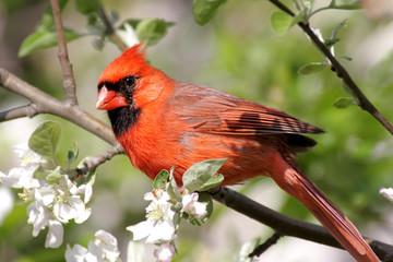 Fototapeta Do jadalni Male Northern Cardinal (cardinalis cardinalis)