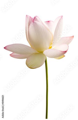 Foto-Kissen - weisse lotus blume vor weiss