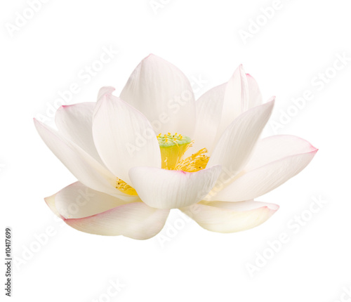 Staande foto Lotusbloem lotus bluete weiss