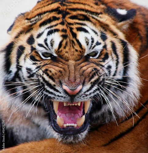 Poster Tijger close up tiger's face bare teeth Tiger Panthera tigris altaica
