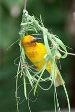 Cape Weaver Bird Busy Building...