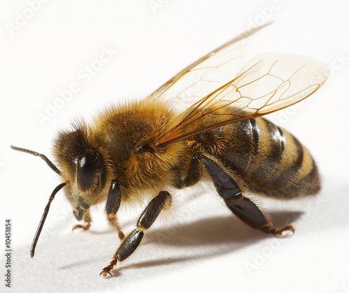 One bee isolated on white