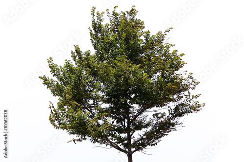 Fototapeta nice regular park tree over white background obraz na płótnie