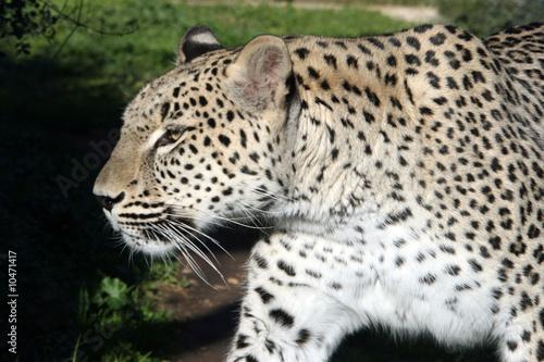 Foto auf Leinwand Leopard white big male leopard walking