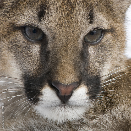 Spoed Fotobehang Puma Puma cub in front of a white background