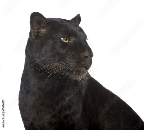 Canvas Prints Panther Black Leopard (6 years) in front of a white background
