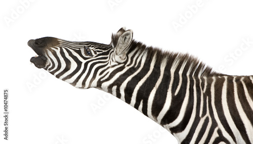 Poster Zebra Zebra (4 years) in front of a white background