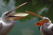 2 Gorgeous Pink Pelican In Passionate Dispute About Territories