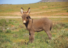 A Cute Baby Donkey Standing In The Veldt
