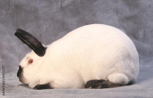 Valokuva  Parfait profil du lapin Californien