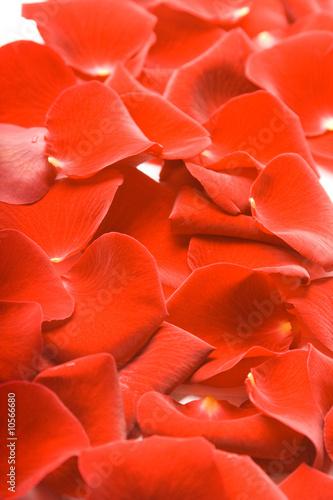 Foto-Schiebegardine ohne Schienensystem - Petals of red rose (von Mila Supinskaya )
