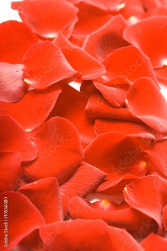 Foto-Kissen - Petals of red rose