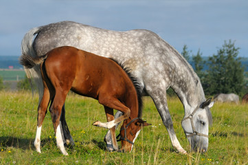 Dapple-grey mare and bay foal in field