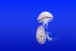 Leinwandbild Motiv jellyfish