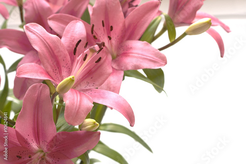Cuadros en Lienzo Pink lillies copy space on the right