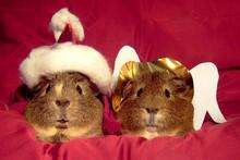 Meerschweinchen Weihnachten Na...