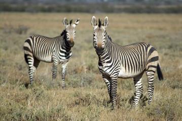 Fototapeta na wymiar Hartmann Bergzebra,Namibia