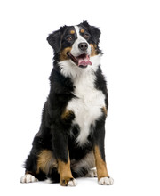Bernese Mountain Dog (15 Months)