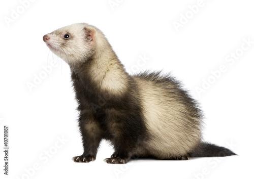 Fotografering ferret - Mustela putorius furo