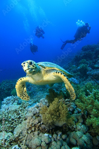 Poster Tortue Hawksbill Turtle and Scuba Divers