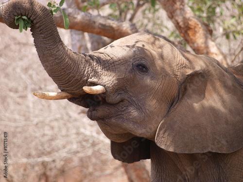 Fotografie, Obraz  Elefant beim Fressen