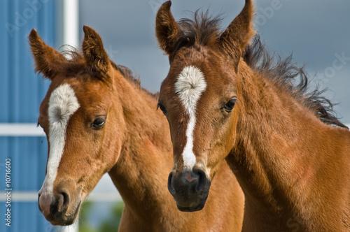 Photo  Two baby horses