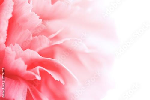 Photo macro of carnation petals