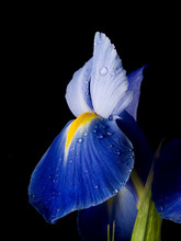 The Blue Iris Is Against The Black Background