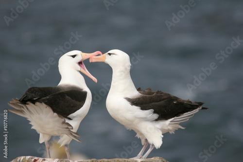 Fotografie, Obraz Albatros