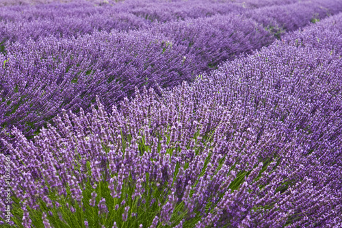Spoed Foto op Canvas Lavendel Blooming lavender field in Provence