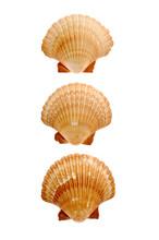 Close-up Of Seashells Isolated On White Background