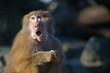 canvas print picture - funny baboon monkey