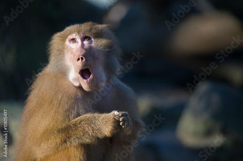 In de dag Aap funny baboon monkey