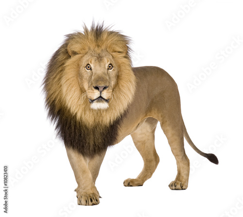 Recess Fitting Lion Lion (8 years) - Panthera leo