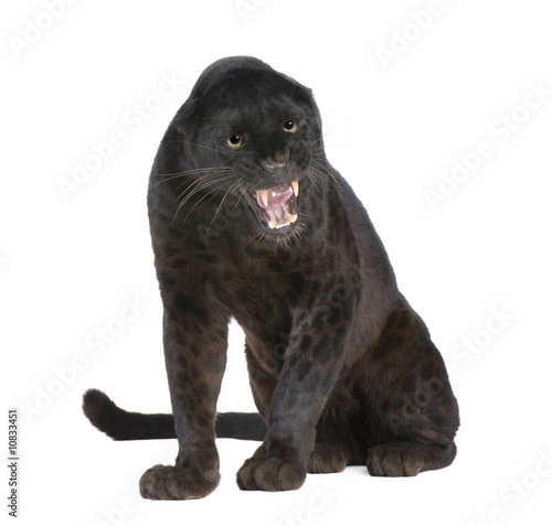 Photo Stands Panther Black Leopard (6 years)