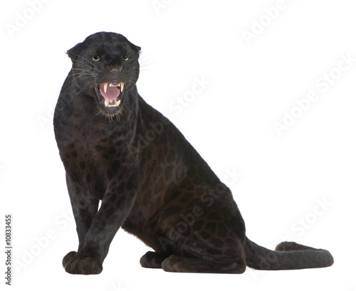 Canvas Prints Panther Black Leopard (6 years)
