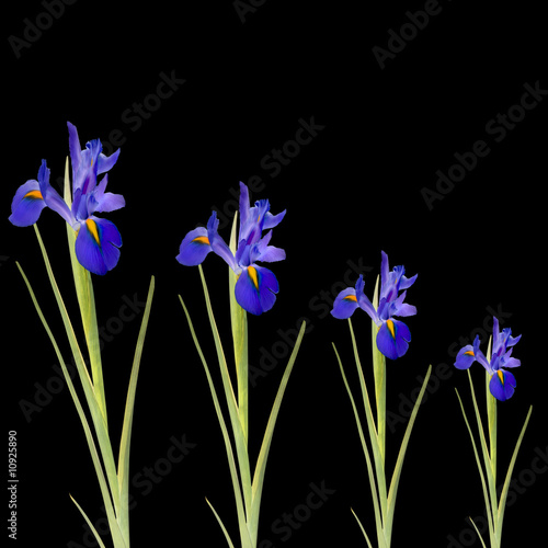 Fototapeta Blue Iris Flowers obraz na płótnie