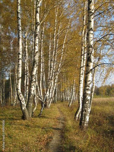 Photo Stands Birch Grove Russian autumn