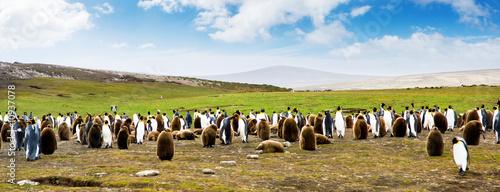 Photo  King Penguin Panoramic