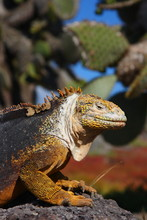 Land Iguana From The Galapagos Islands