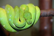 Green Tree Python Snake, Chond...