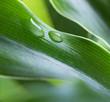 canvas print picture - dew drop