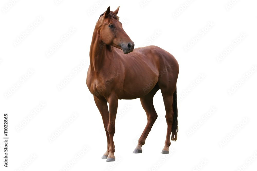 Fototapety, obrazy: Brown Horse Isolated