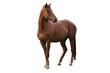 Leinwandbild Motiv Brown Horse Isolated