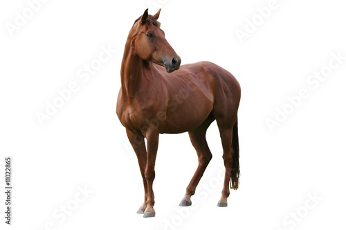 Foto op Aluminium Paarden Brown Horse Isolated