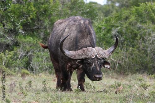 Recess Fitting Buffalo Cape Buffalo
