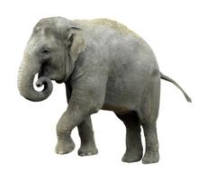 Détourage éléphant D'Asie