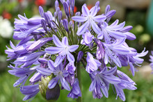 Agapanthe à Fleurs Bleues